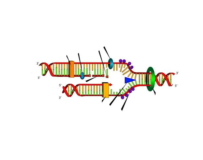 DNA replication (redone)