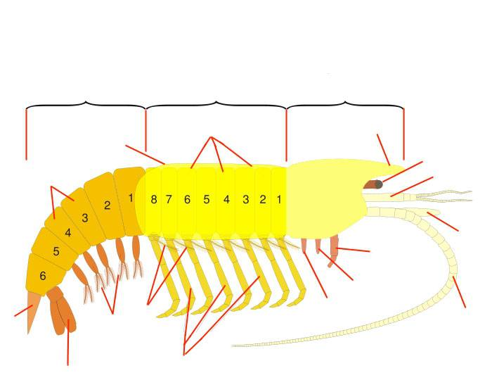 Crustacean Anatomy