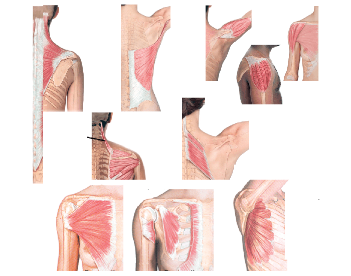 Pectoral girdle muscles