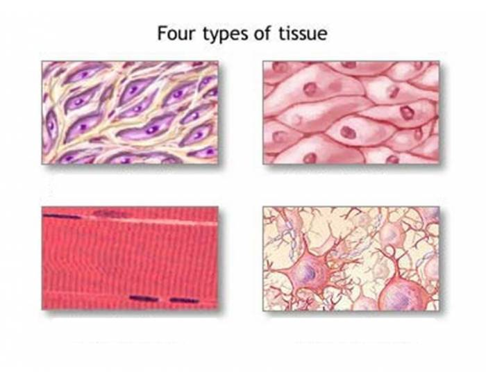 four types of tissue The 4 types of tissue are muscle tissue, epithial tissue, nerve tissue, and i forget the tier one.