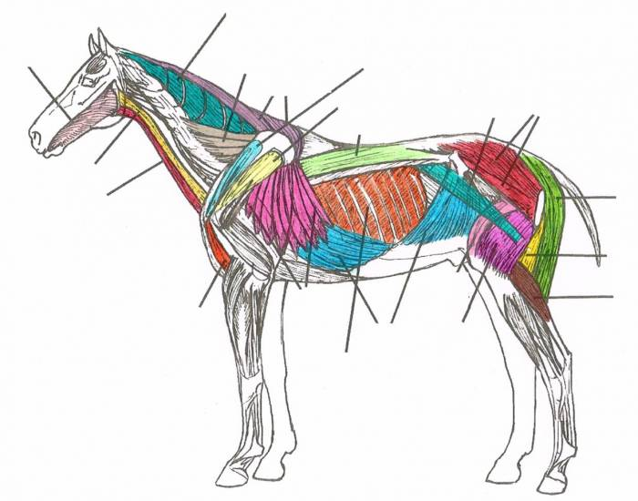 Muscle anatomy quiz gallery human anatomy organs diagram deep muscles of the horse purposegames ccuart Gallery