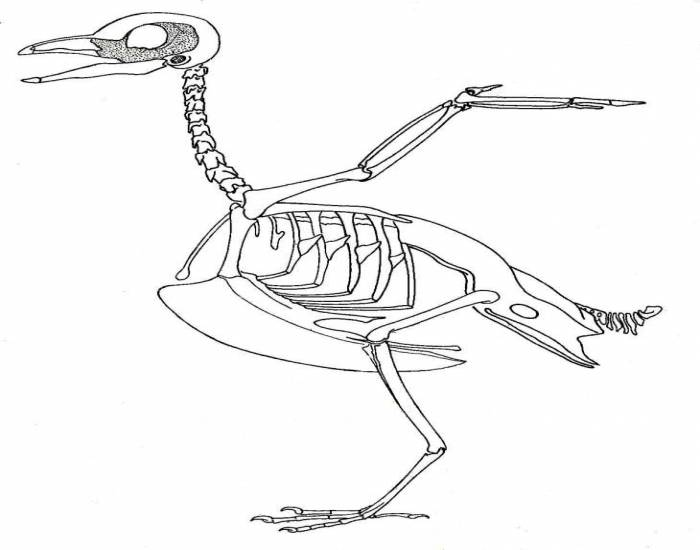 lobster skeleton diagram bird skeleton quiz aves skeleton diagram