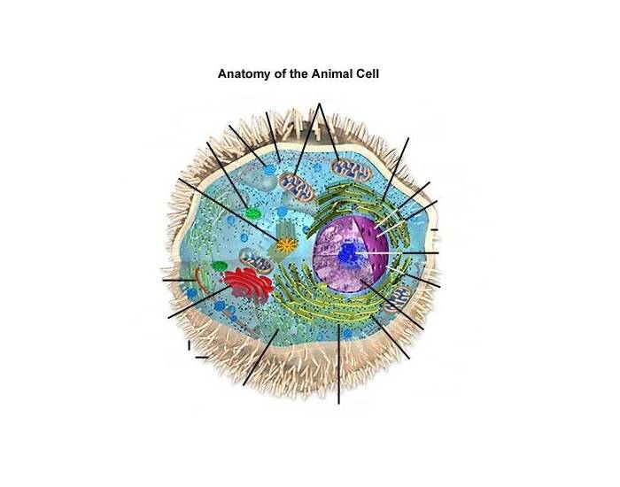 The Animal Cell- Hard Version