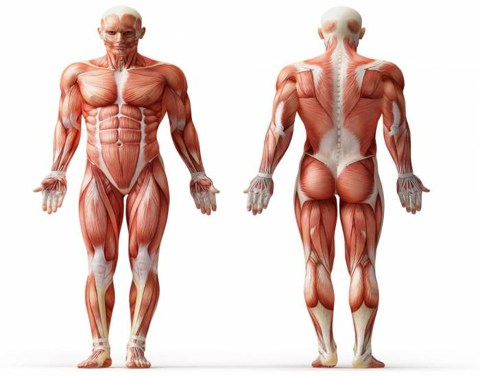 Body Superfial muscles
