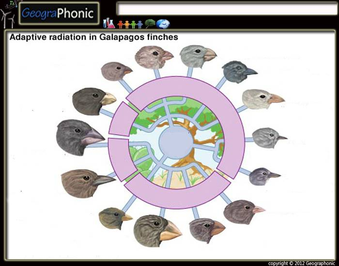 adaptive radiation darwin s finches Best answer: niche is just another word for lifestyle adaptive radiation usually occurs when an organism reaches a new environment the new organism is often able to exploit several 'life styles that causes the organism to spit into several different species the most famous examples is darwin's.