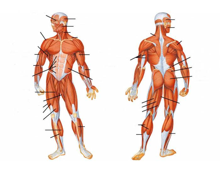 how does the extent and orientation of the human sartorius muscle differ from its relative position