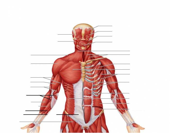 Anterior Muscles Of The Upper Body