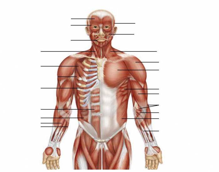 Anterior Muscles of the Upper Body 2