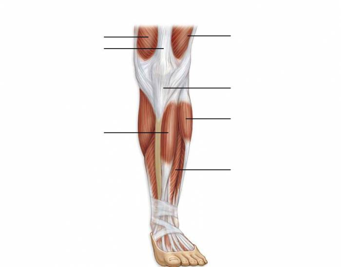 Major Anterior Muscles of the Leg
