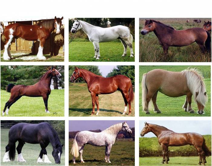 Horse and Pony Breeds Originating in Great Britain