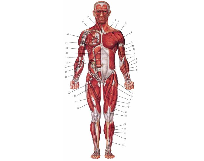 Muscular System - Anterior View