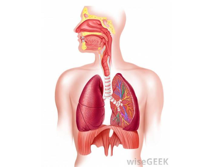 The Human Respiratory System: CC Study Guide