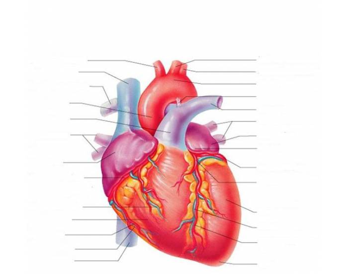 External Anatomy of the Heart 1