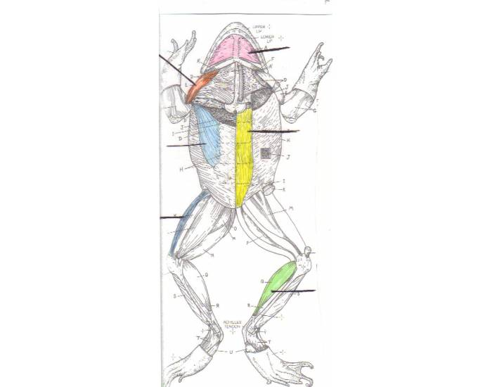 Frog Muscular System Ventral View Csustan Zool 2008 Purposegames