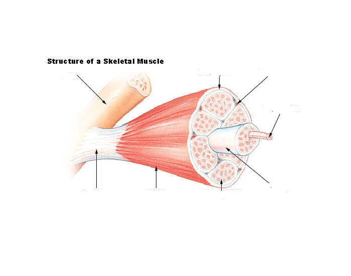 Connective Tissue Coverings Of A Skeletal Muscle Purposegames