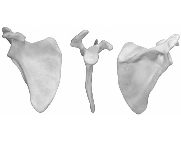 Scapula (anterior, lateral, & posterior view)