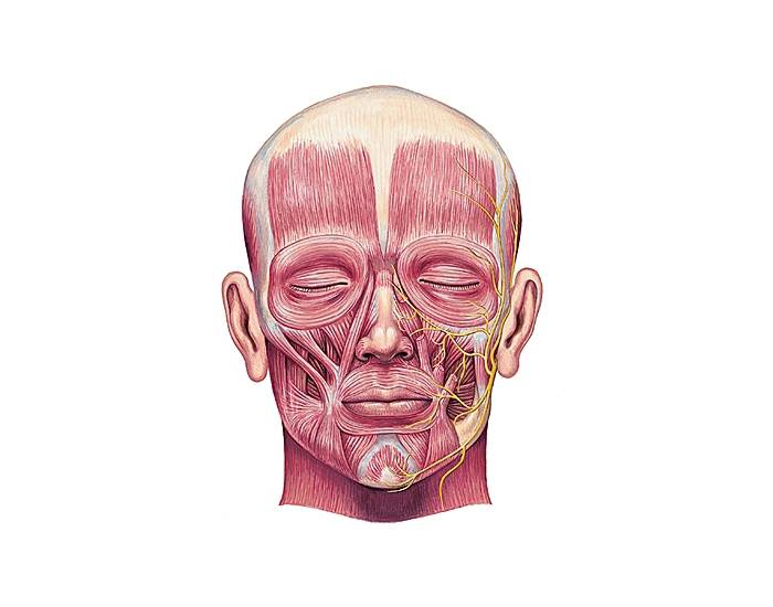 picture-of-facial-muscles-virgins