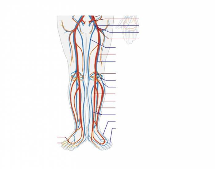 Major Veins and Arteries of the Lower Limb 1