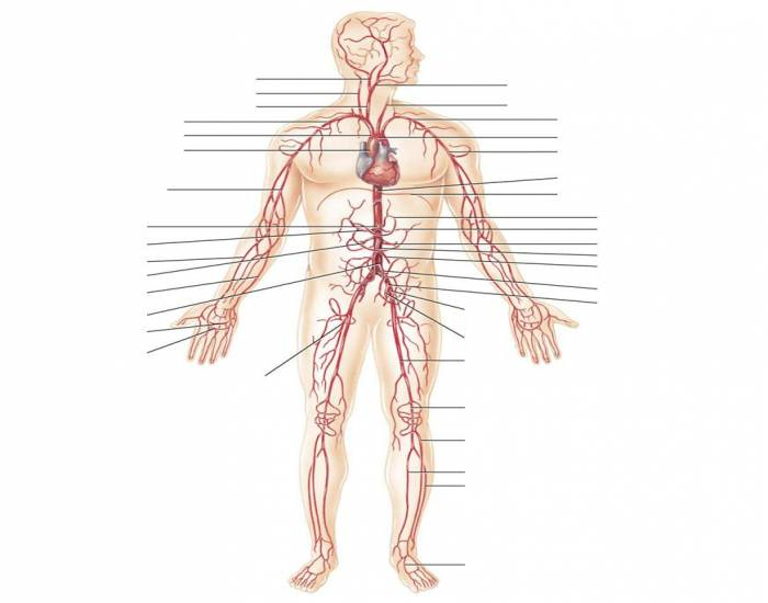 Major arteries of the Body 2