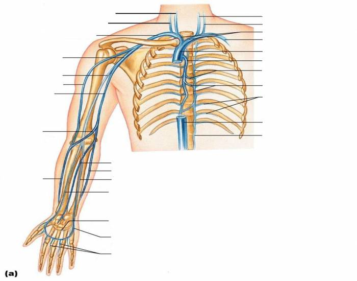 Major Veins of the Arm and Thoracic Cavity