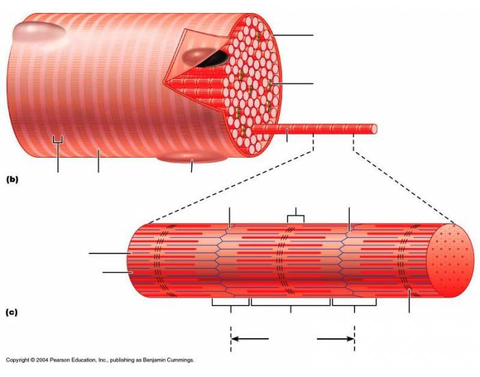 Microscopic Anatomy Of Skeletal Muscle Purposegames