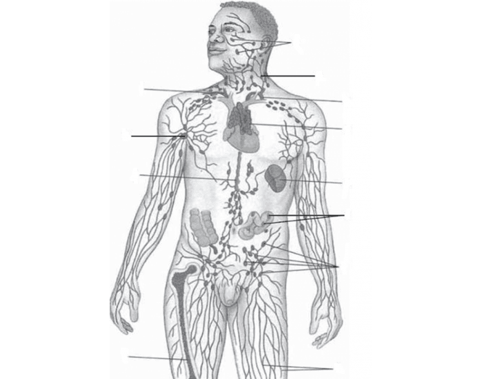 Uccs Lymphatic System Labeling