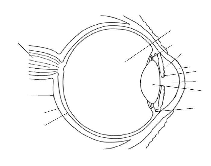 the purpose of the human eye The retina contains two types of photoreceptors, rods and cones the rods are more numerous, some 120 million, and are more sensitive than the cones however, they are not sensitive to color the 6 to 7 million cones provide the eye's color sensitivity and they are much more concentrated in the .