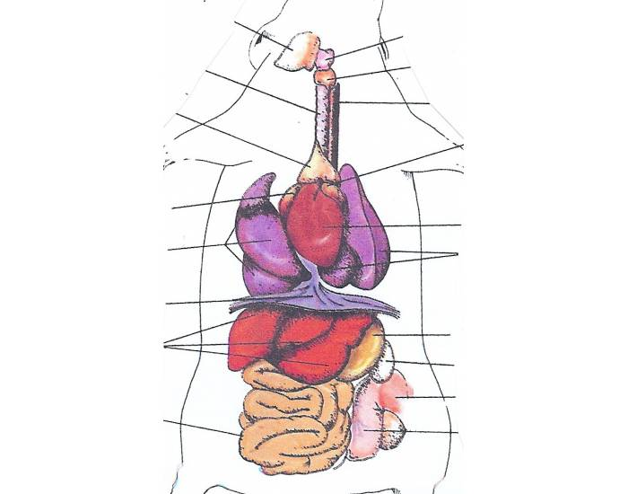Rat Internal Organs