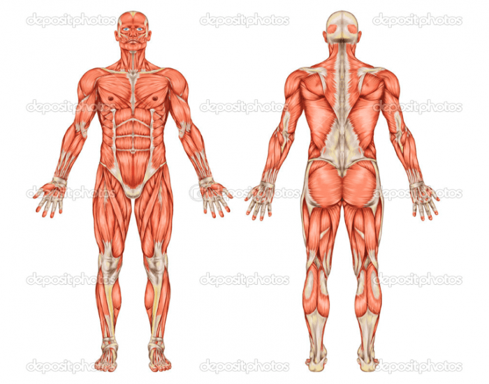 Game Statistics Learn Basic Muscles Of The Body Purposegames