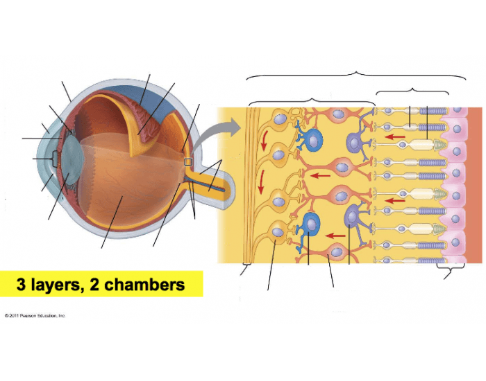 Labeling The Eye And A Closeup Of The Retina Purposegames