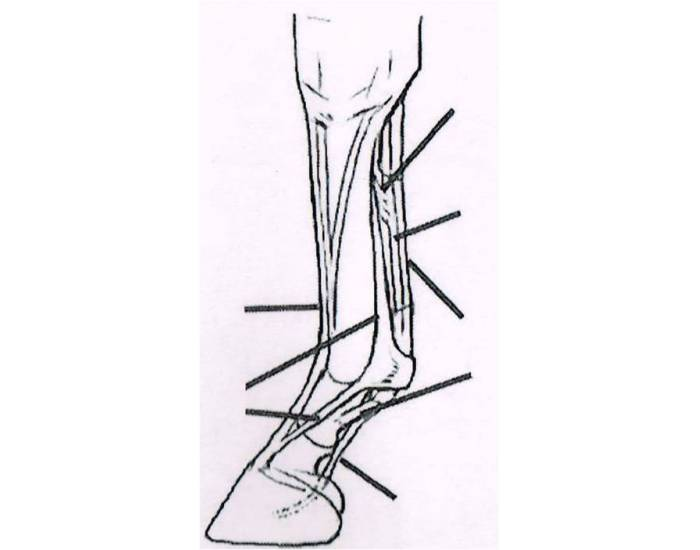 Tendons And Ligaments Of The Horse S Lower Leg