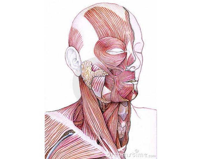 Game Statistics Human Face And Neck Muscles Purposegames