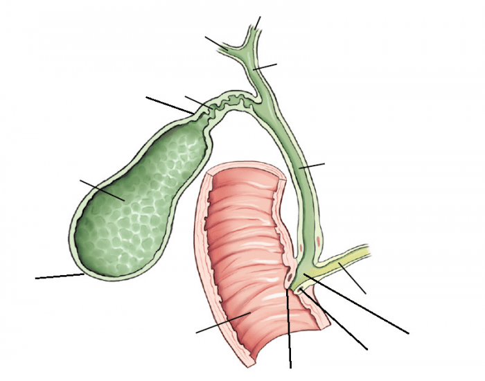 Fig. 14-4 Gallbladder and extrahepatic biliary ducts