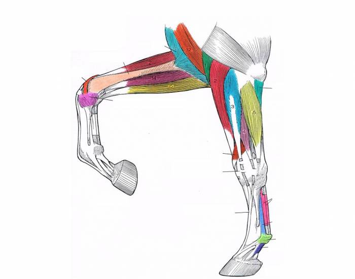 Distal Forelimb Muscles Of The Horse Purposegames