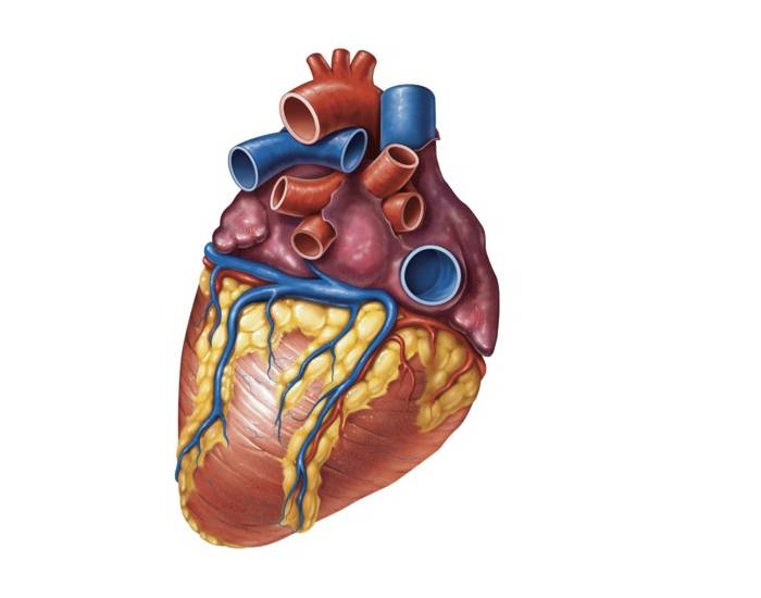 Heart Anatomy Posterior Surface View Quiz