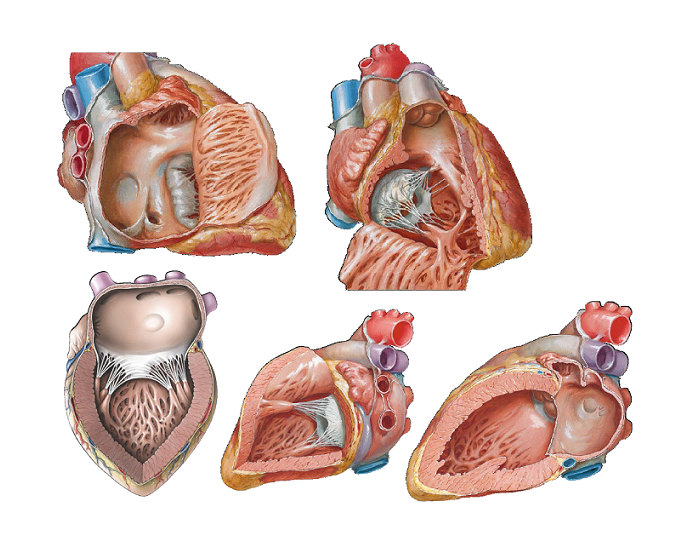 Internal heart anatomy