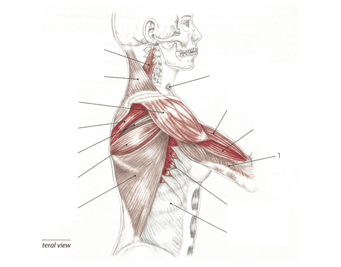 Muscles of Shoulder and Arm (Lateral)