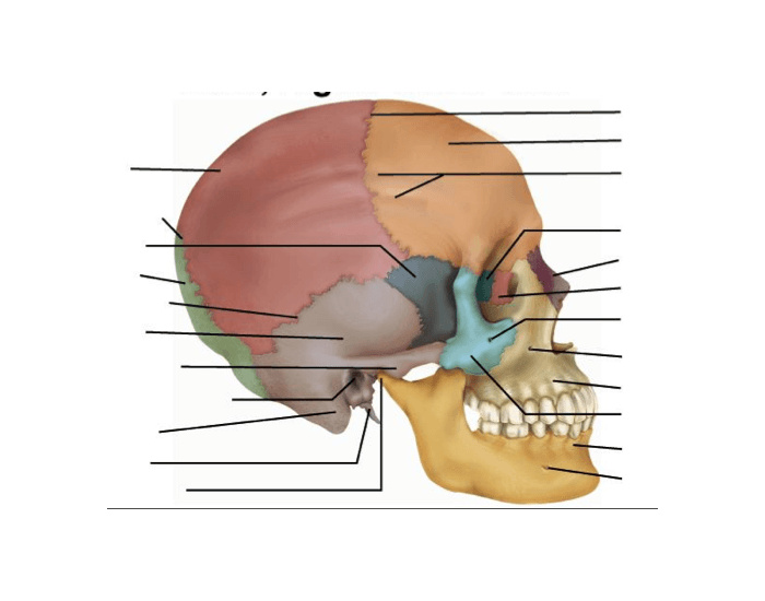 Skull, Lateral View