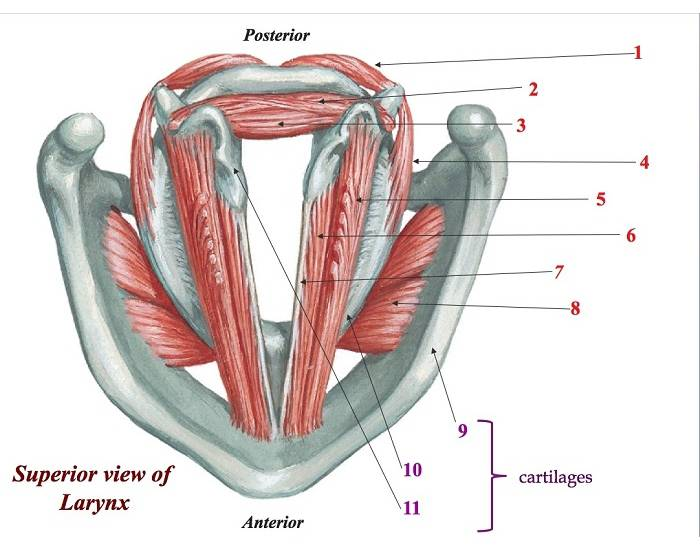 Cartilages and Intrinsic Muscles of Larynx - PurposeGames