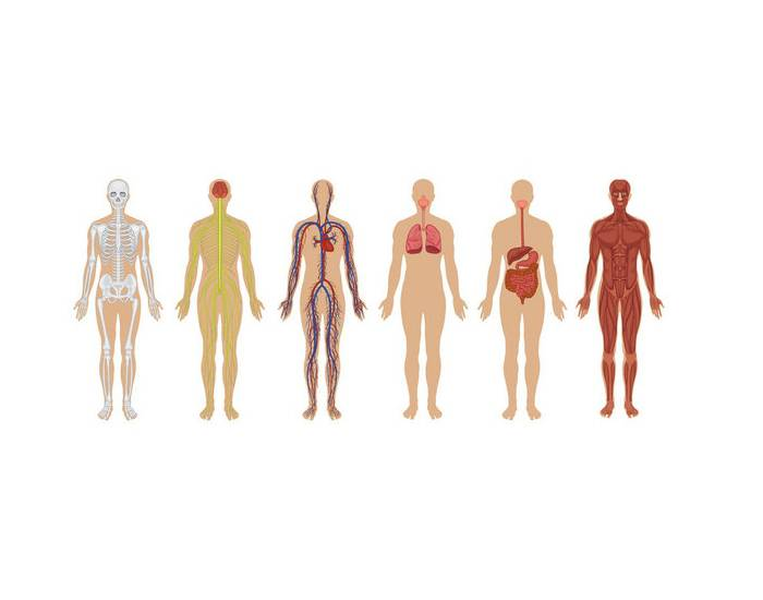 Organ Systems of the Body - PurposeGames