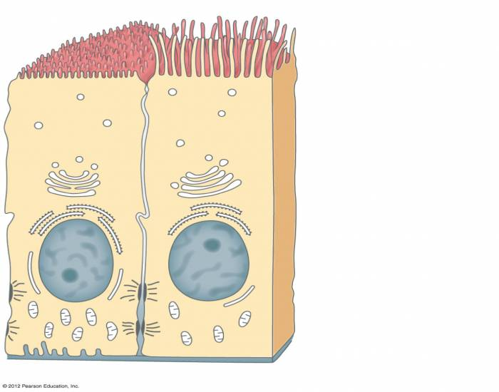 BIOL 220: Polarity of an epithelial cell