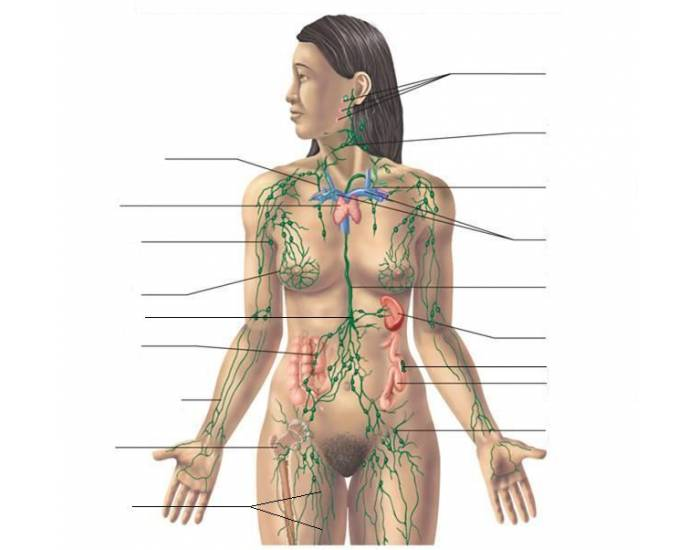 an introduction to the analysis of the lymphatic system The lymphatic system helps rid the body of toxins it transports white blood cells throughout the body to fight infection.
