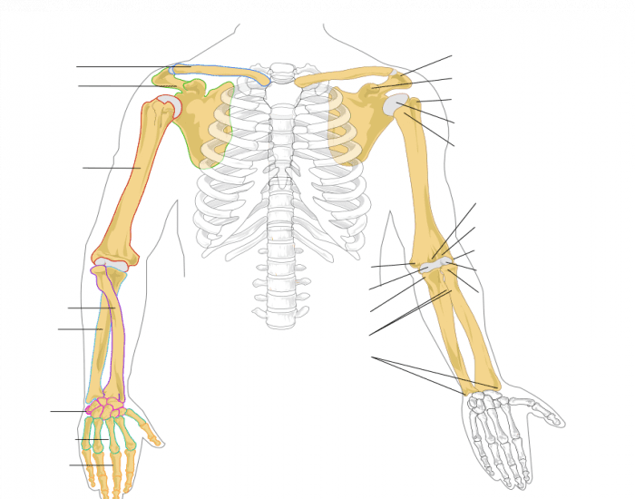 Human Anatomy Arm Bones Purposegames