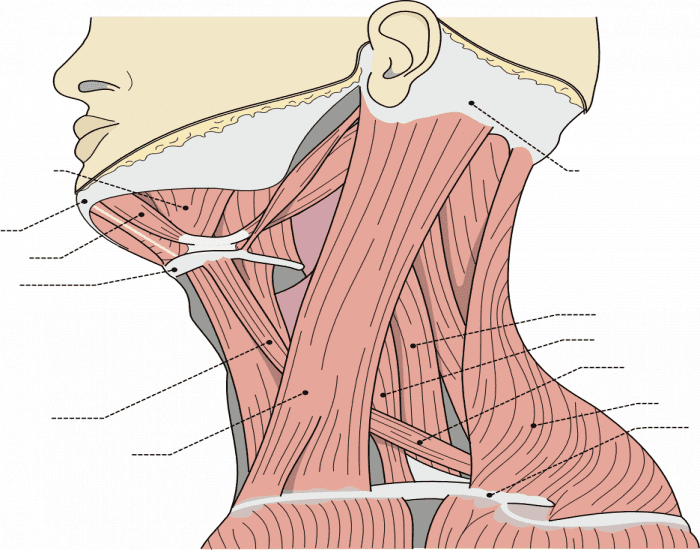 Human Anatomy: Left Side of the Neck
