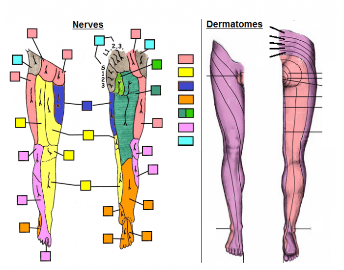 Lower Extremity Dermatomes | www.pixshark.com - Images ...