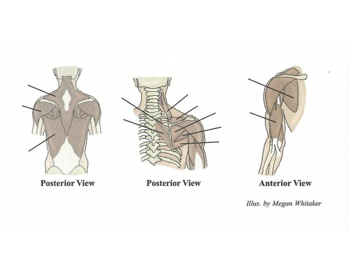 Major Muscles of the Shoulder and Upper Arm