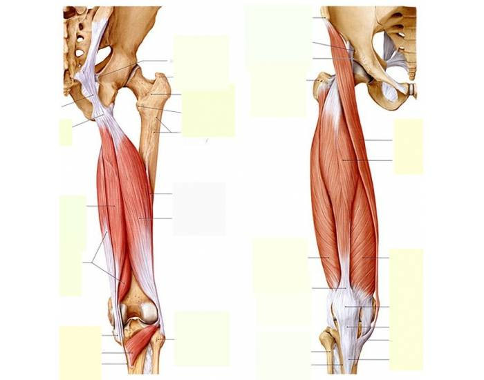 Upper Leg Muscles Purposegames