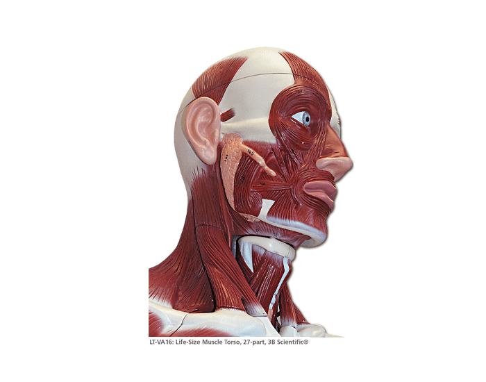 Superficial Muscles of the Head and Neck