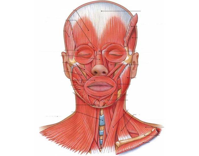 Muscles of the Head, Neck, & Face - PurposeGames