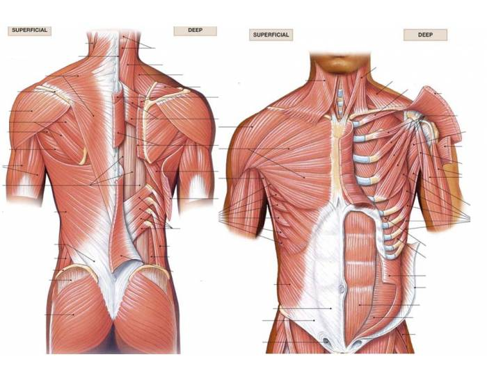 Muscles of the Pectoral Girdle
